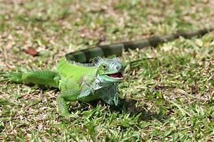 """Dosya:Green-iguana-iguana.jpg"" - Wikipediya Zazaki ..."
