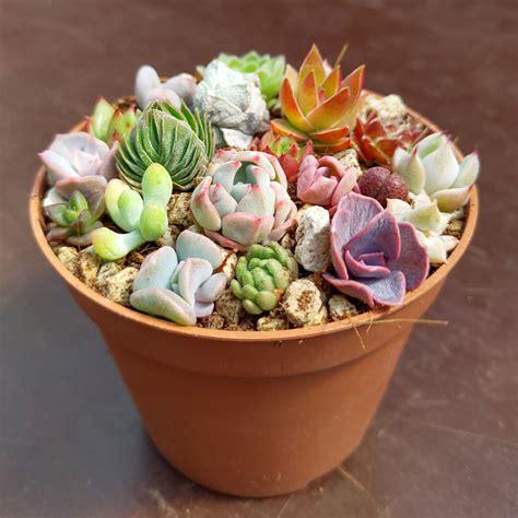Mini Succulents - Mix - 10 Cuttings - CactusPlaza.com
