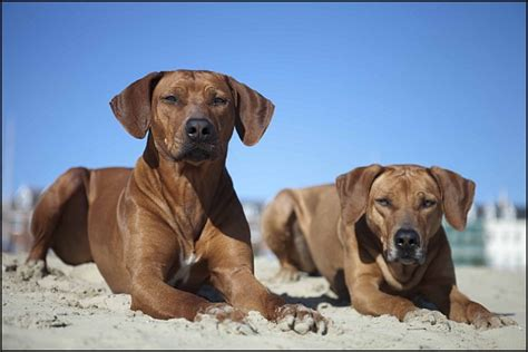 Rhodesian Ridgeback Puppy Shedding by Rhodesian Ridgebacks Puppies Rhodesian Ridgebacks