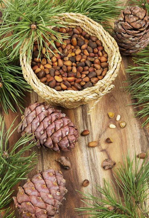 pine nuts   harvesting pine nuts