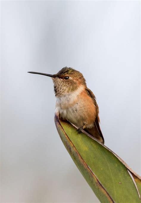 what is the only bird that can fly backwards 17 beste afbeeldingen birds of a feather op afrikanen papegaaien en vogels