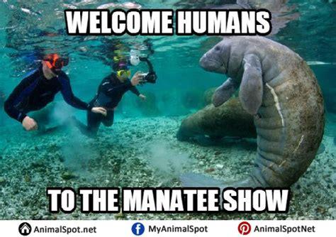 Manatee Memes - manatee memes