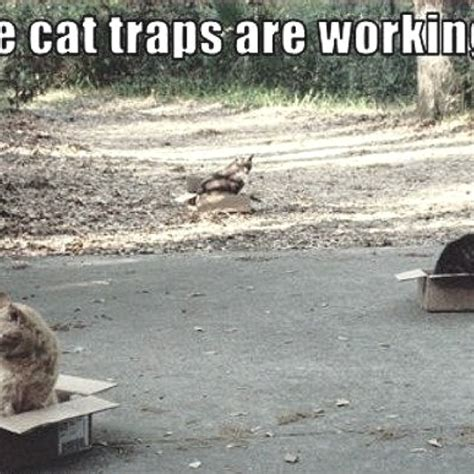 Cat Trap Meme - cat traps creatures gt cats playing pinterest
