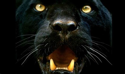Black Jaguar Animal Hd Wallpapers - black jaguar wallpapers 45 wallpapers adorable wallpapers
