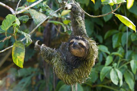 Sloth Images Amazing Animals 10 The Three Toed Sloth Steemit