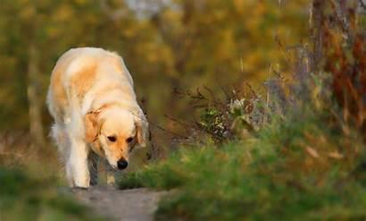 Golden Retriever Dog Puppies Animals Collie Border