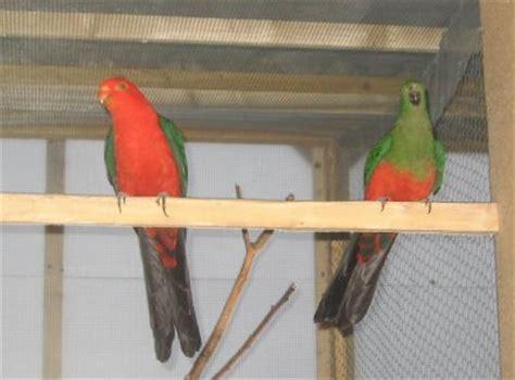 couple de p 233 rruche royal les amis des perruches