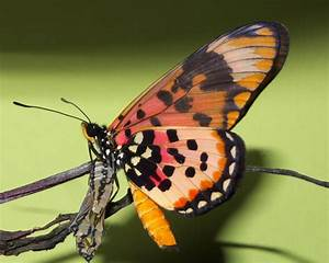 Large Spotted Acraea emerges from Chrysalis in the Congo ...
