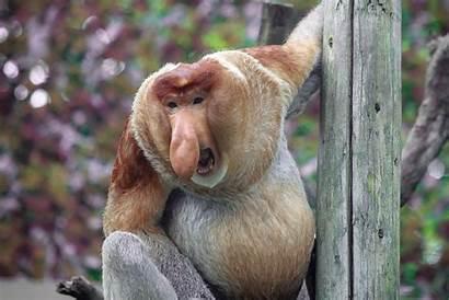 Monkey Proboscis Zoochat