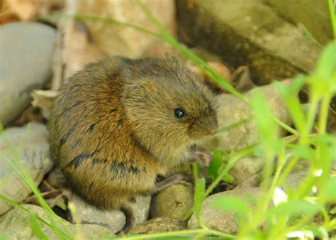 what is a vole meadow vole the nature of delaware