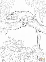 Gecko Coloring Crested Pages Tree Drawing Leopard Printable Lizard Getdrawings Personal Brilliant Albanysinsanity sketch template