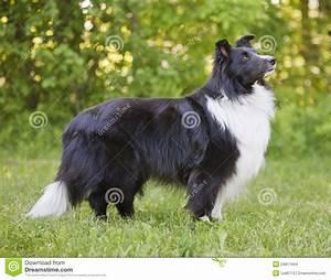 Black And White Shetland Sheepdog Stock Photo Image: 24811944