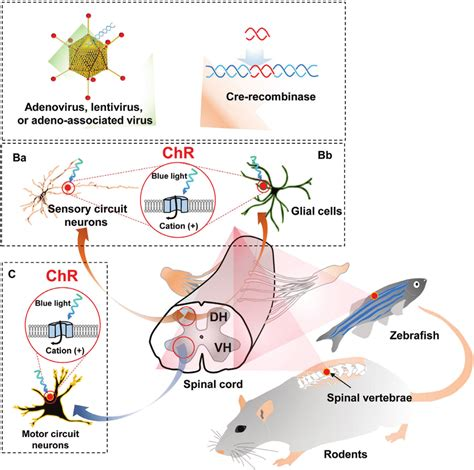 Optogenetic Control Spinal Cord Circuits Using