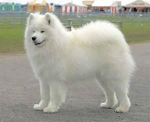 white dog breeds big Big Fluffy White Dog | Just all cute ...