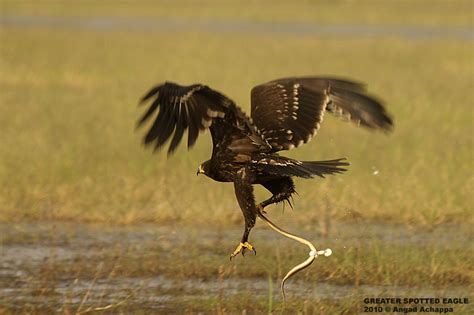 wildlife photography greater spotted eagle  kill