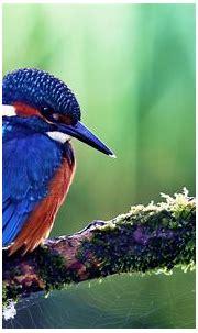 Kingfisher Wallpaper HD Download