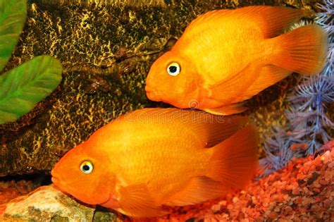 aquarium poisson d or poissons d or d aquarium image stock image 11280901