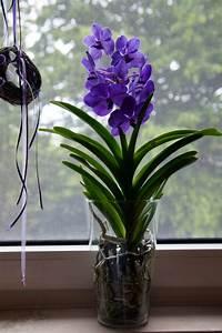 Orchidee Vanda Pflege : orchidee vanda pflege vanda orchidee pflege im topf und ~ Lizthompson.info Haus und Dekorationen