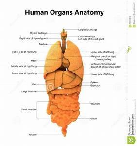 Wiring And Diagram  Diagram Of Upper Body Organs