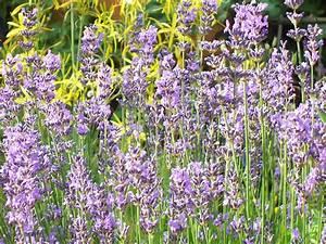 Gewächshaus Bepflanzen Plan : lavendel hidcote blue deaflora lavendel hidcote blue ~ Lizthompson.info Haus und Dekorationen