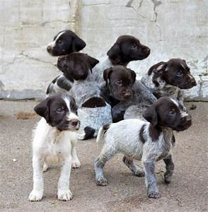 German Wirehaired Pointer Puppies for Sale   Jedburgh ...