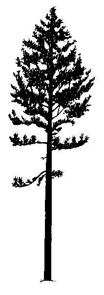 Lodgepole Pine Silhouette   Loft/library   Pinterest