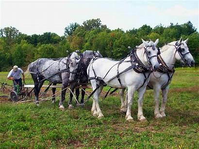 Horses Draft Horse Four Percheron Belgian Desktop