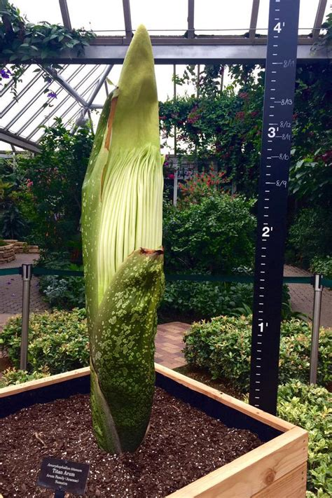 a corpse flower grows in glencoe chicago magazine