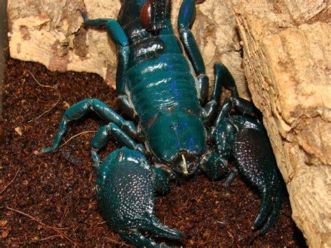 Scorpion Animal Wallpaper - scorpion computer wallpapers desktop backgrounds