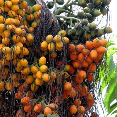 buy areca catechu betel palm  kg seeds