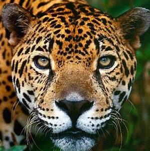 Jaguar - Fiercest Cat of the Americas Animal Pictures