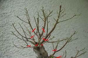 Comment Tailler Un Ficus : forum indispensable pour bien debuter ficus retusa ~ Melissatoandfro.com Idées de Décoration