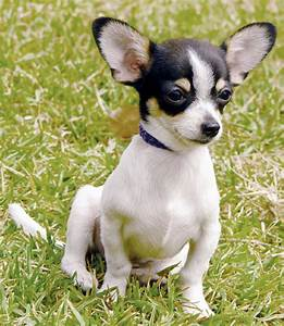 toy dog breeds miniature