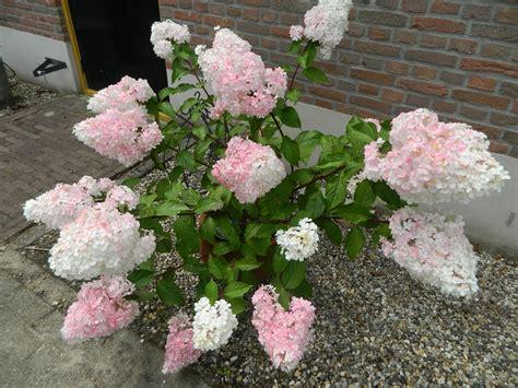 hydrangea paniculata vanille fraise hortensia bertha s hof