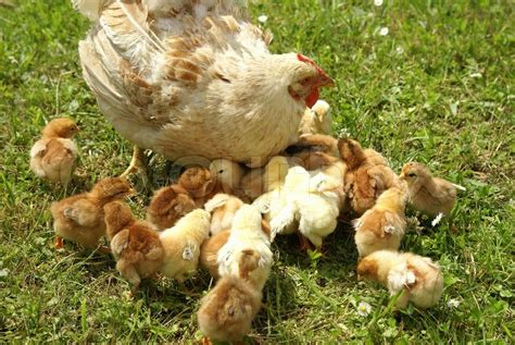 Chicken Feed Their Young Chicks  Stock Photo Colourbox