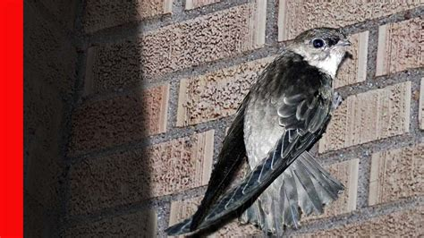 Chimney Swift Birds