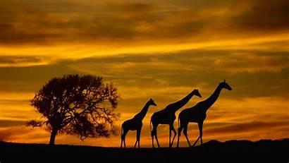 Wildlife Wallpapers Desktop Animals Backgrounds Africa Sunset