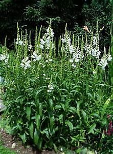 Weiß Blühende Stauden : gelenkblume wei physostegia virginiana summersnow ~ Markanthonyermac.com Haus und Dekorationen