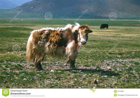 Mongolian Yak Stock Photos