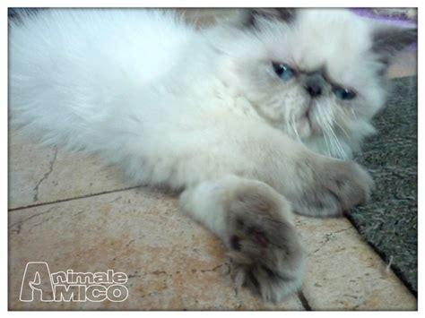 gattini persiani in vendita vendita cucciolo persiano da privato a gattini