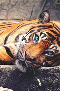 tigers on Tumblr
