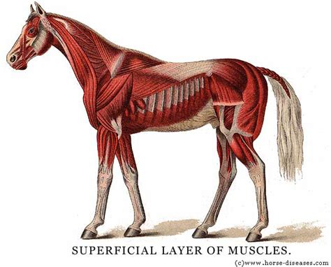 horse anatomy muscle equine diagram horses skeleton animals muscular leg system basic titan muscles thinklikeahorse memrise legs diseases attack foot