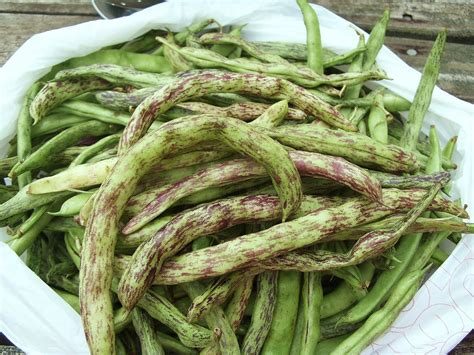 types of green beans green beans nutrition facts and health benefits hb times