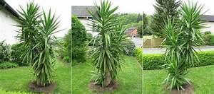 Yucca Palme Winterhart : diese yucca stand schon auf der abschu liste seite 1 ~ A.2002-acura-tl-radio.info Haus und Dekorationen