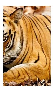 When And Why Is World Tiger Day Celebrated