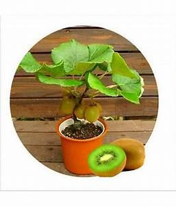 Kiwi Fruit Seeds Bonsai Kiwi Fruit Seed For Home Garden 20