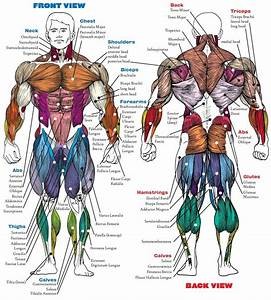 Muscle Anatomy Bodybuilding Book Muscle Anatomy Book Human Anatomy Diagram