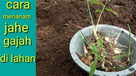 6 cara praktis menanam jahe bisa di dalam pot, polybag atau di lahan terbuka jahe adalah tanaman rimpang yang sangat. Cara Menanam Jahe Gajah Di Lahan Terbuka - YouTube