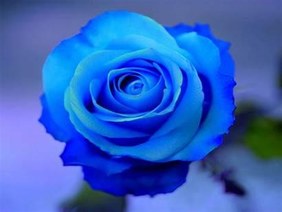 Rose Wallpapers Roses Backgrounds Flowers Desktop Flower