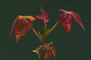 Poison Ivy flower - search in pictures